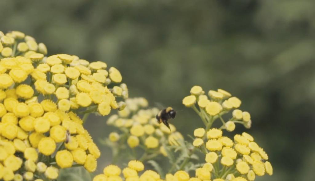 CloaseUp Biene auf gelben Blumen Werbevideo