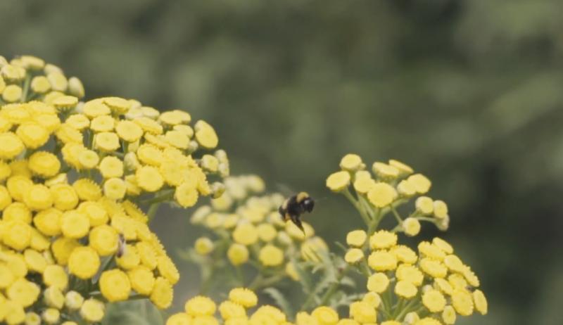 Videoproduktionen CloaseUp Nahaufname Biene beauf gelben Blumen für Werbevideo in der Ostschweiz (Frauenfeld)